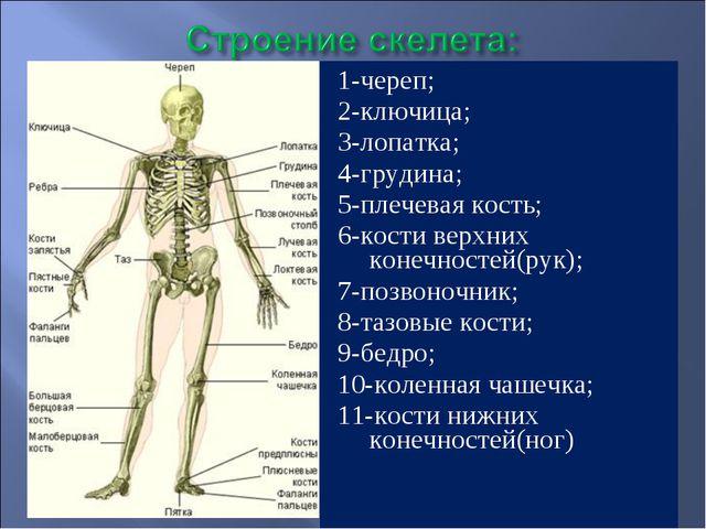 1-череп; 2-ключица; 3-лопатка; 4-грудина; 5-плечевая кость; 6-кости верхних к...