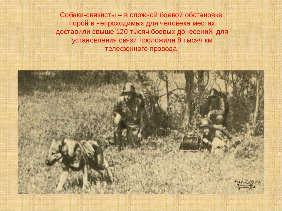 Собаки-связисты – в сложной боевой обстановке, порой в непроходимых для челов...