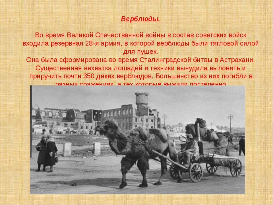 Верблюды. Во время Великой Отечественной войны в состав советских войск входи...