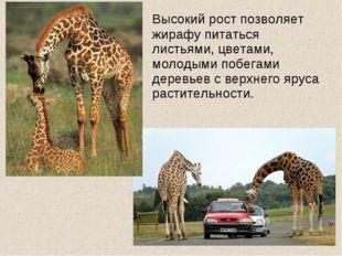 Высокий рост позволяет жирафу питаться листьями, цветами, молодыми побегами