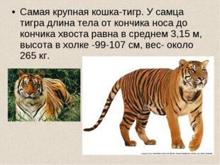 Самая крупная кошка-тигр. У самца тигра длина тела от кончика носа до кончика