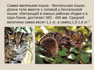 Самая маленькая кошка - бенгальская кошка. Длина тела вместе с головой у бен