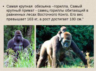 Самая крупная обезьяна –горилла. Самый крупный примат - самец гориллы обитающ