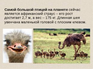 Самой большой птицей на планете сейчас является африканский страус – его рос