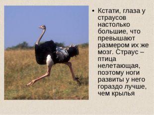 Кстати, глаза у страусов настолько большие, что превышают размером их же мозг