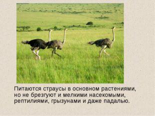 Питаются страусы в основном растениями, но не брезгуют и мелкими насекомыми,