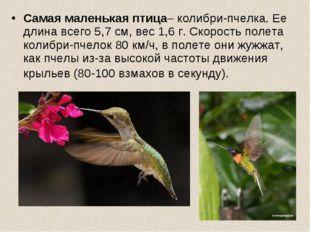 Самая маленькая птица– колибри-пчелка. Ее длина всего 5,7 см, вес 1,6 г. Скор