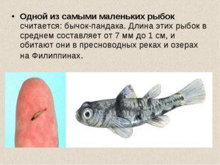 Одной из самыми маленьких рыбок считается: бычок-пандака. Длина этих рыбок в
