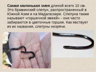 Самая маленькая змея длиной всего 10 см. Это браминский слепун, распростране