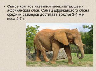 Самое крупное наземное млекопитающее - африканский слон. Самец африканского с