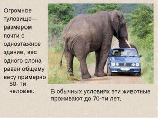 Огромное туловище – размером почти с одноэтажное здание, вес одного слона рав