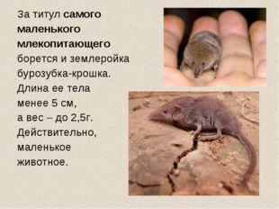 За титул самого маленького млекопитающего борется и землеройка бурозубка-крош
