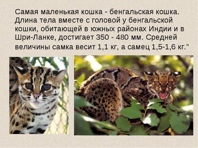 Самая маленькая кошка - бенгальская кошка. Длина тела вместе с головой у бен...
