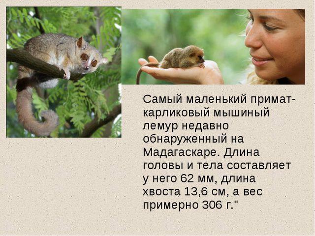 Самый маленький примат- карликовый мышиный лемур недавно обнаруженный на Мад...