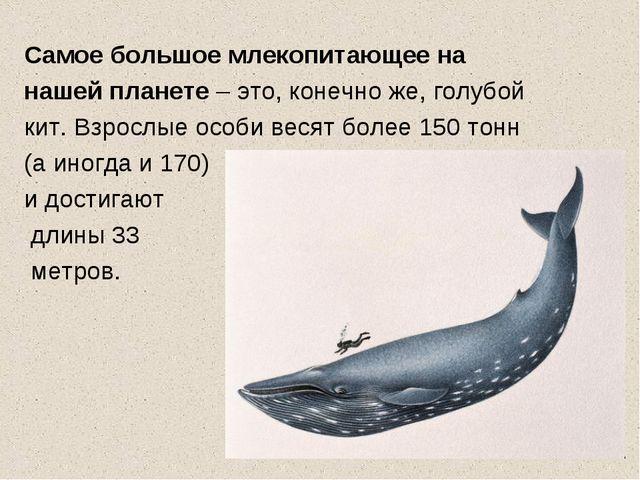 Самое большое млекопитающее на нашей планете – это, конечно же, голубой кит....