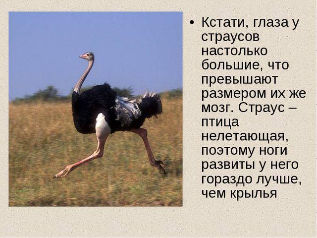 Кстати, глаза у страусов настолько большие, что превышают размером их же мозг...