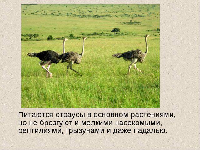 Питаются страусы в основном растениями, но не брезгуют и мелкими насекомыми,...