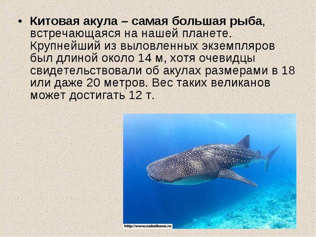 Китовая акула – самая большая рыба, встречающаяся на нашей планете. Крупнейши...
