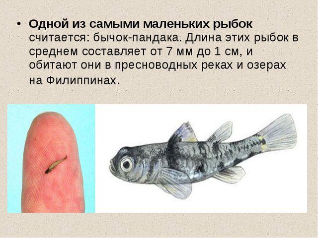 Одной из самыми маленьких рыбок считается: бычок-пандака. Длина этих рыбок в...