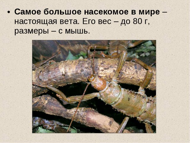 Самое большое насекомое в мире – настоящая вета. Его вес – до 80 г, размеры –...
