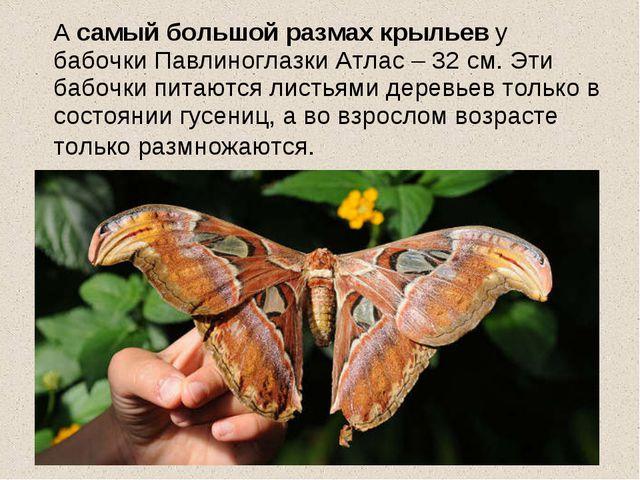 А самый большой размах крыльев у бабочки Павлиноглазки Атлас – 32 см. Эти ба...