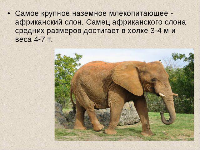 Самое крупное наземное млекопитающее - африканский слон. Самец африканского с...