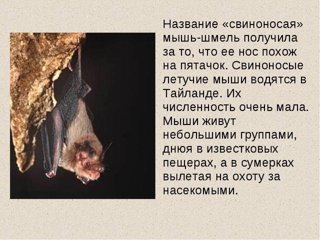 Название «свиноносая» мышь-шмель получила за то, что ее нос похож на пятачок...