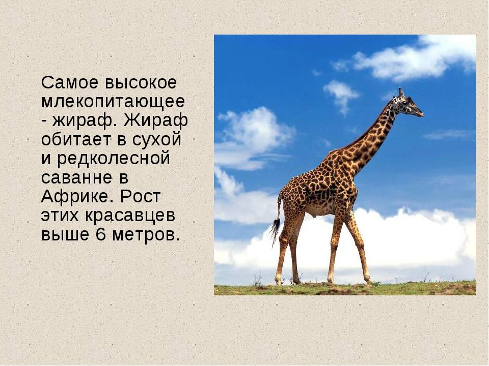 Самое высокое млекопитающее- жираф. Жираф обитает в сухой и редколесной сава...