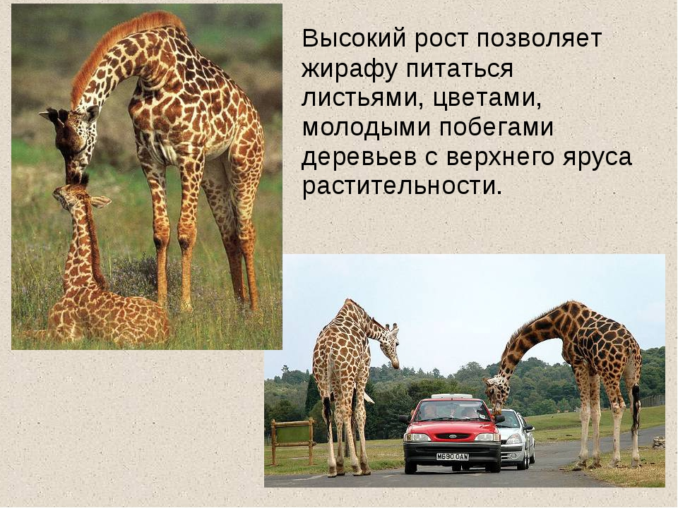 Высокий рост позволяет жирафу питаться листьями, цветами, молодыми побегами...