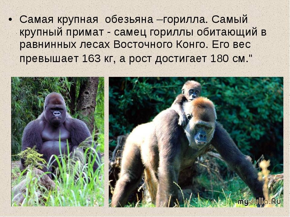 Самая крупная обезьяна –горилла. Самый крупный примат - самец гориллы обитающ...