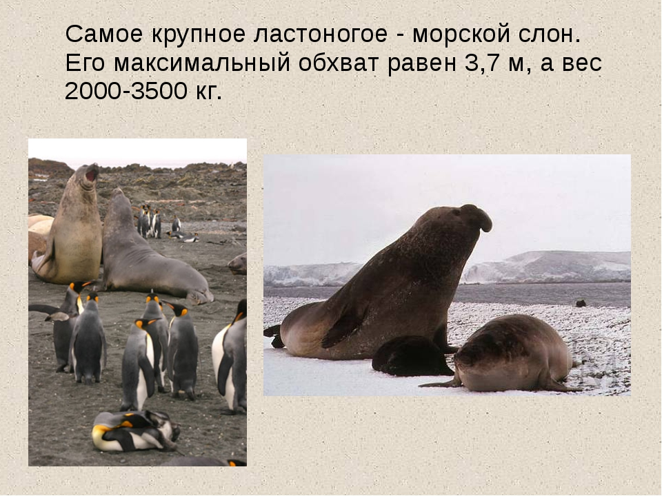 Самое крупное ластоногое - морской слон. Его максимальный обхват равен 3,7 м...