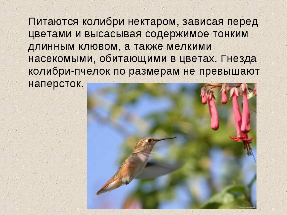 Питаются колибри нектаром, зависая перед цветами и высасывая содержимое тонк...
