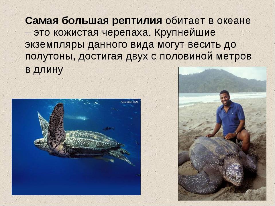 Самая большая рептилия обитает в океане – это кожистая черепаха. Крупнейшие...