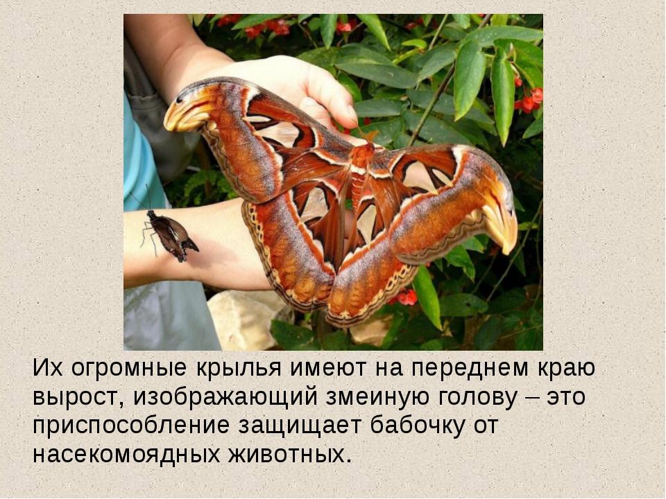 Их огромные крылья имеют на переднем краю вырост, изображающий змеиную голов...