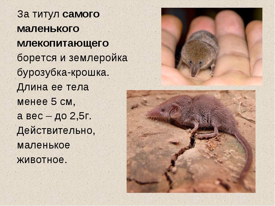 За титул самого маленького млекопитающего борется и землеройка бурозубка-крош...