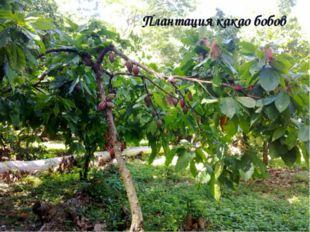 Плантация какао бобов