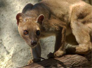 Также на Мадагаскаре обитает фосса - хищное млекопитающее из семейства мадага