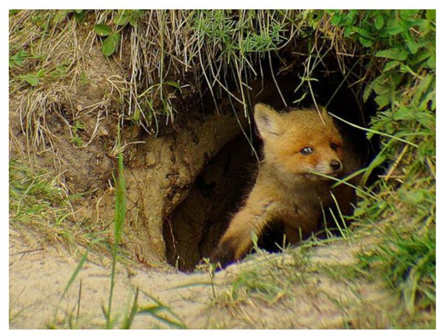 - Где живет лиса? Откуда вылезает лиса?