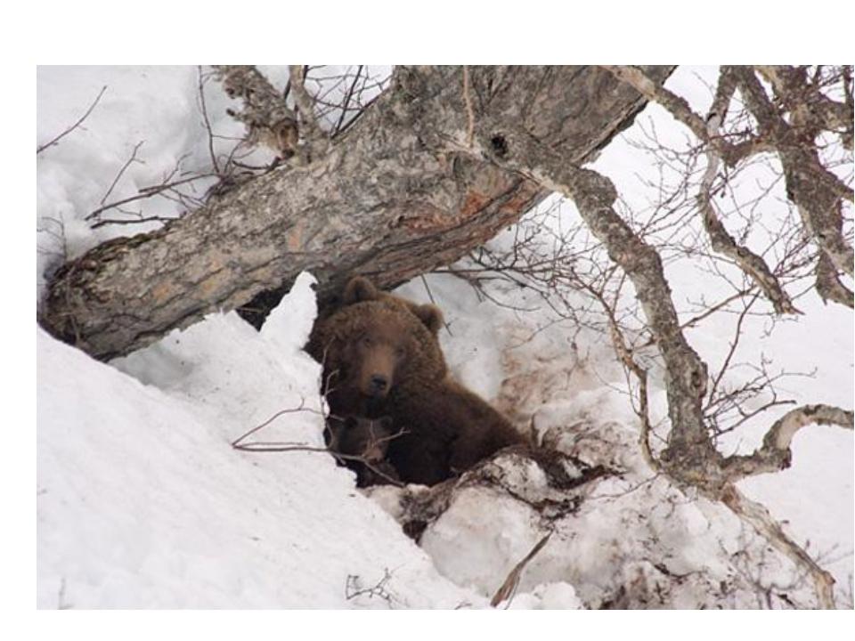 - Где спит медведь? Откуда выходит медведь?