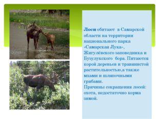 Лосиобитают в Самарской области на территории национального парка «Самарская