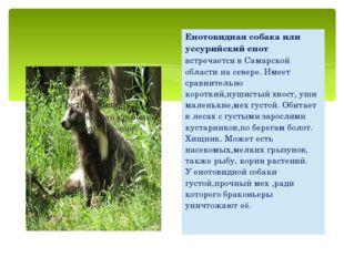 Енотовидная собака или уссурийский енотвстречается в Самарской области на сев