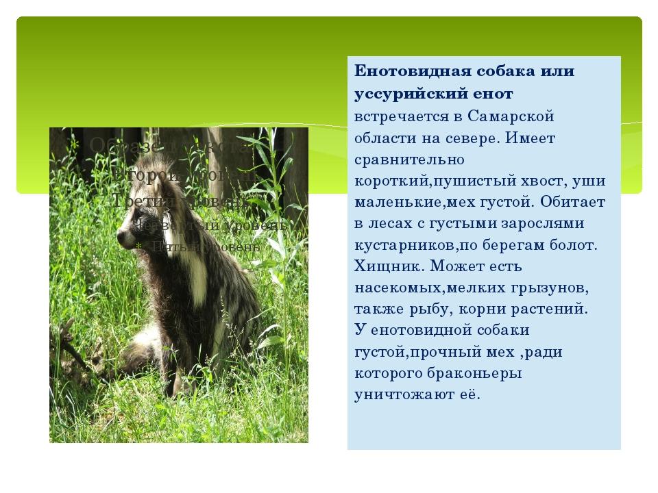 Енотовидная собака или уссурийский енотвстречается в Самарской области на сев...
