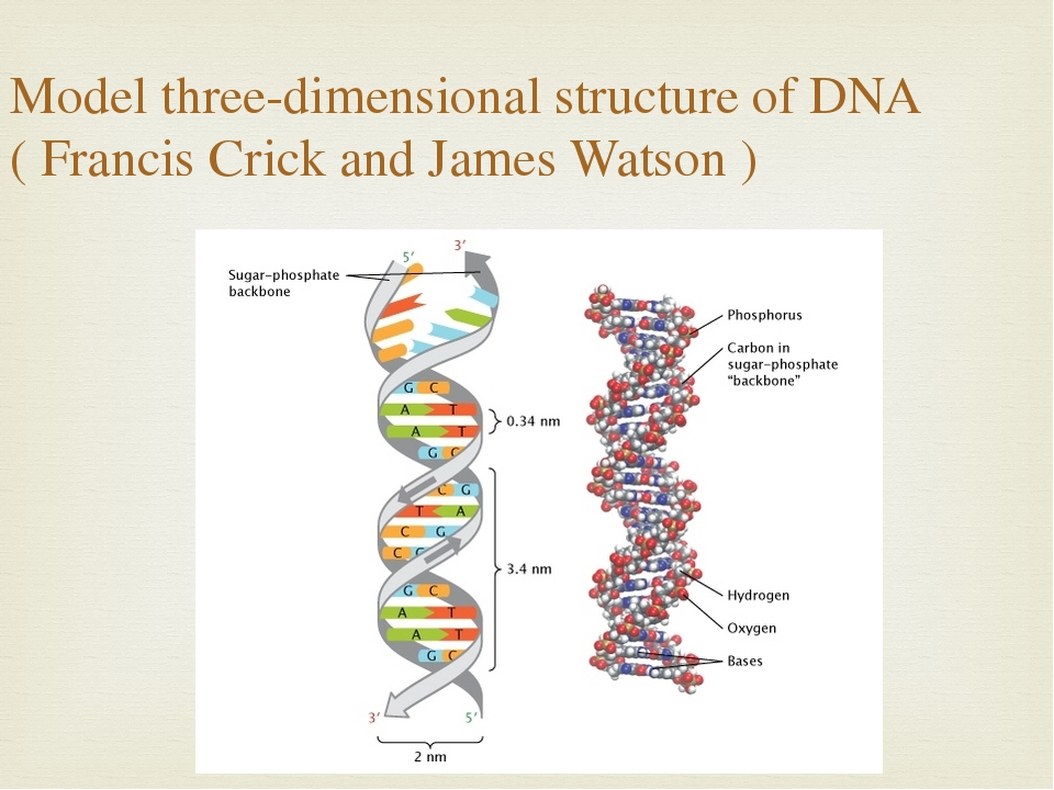 Model three-dimensional structure of DNA ( Francis Crick and James Watson )