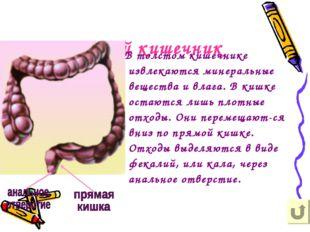 Толстый кишечник В толстом кишечнике извлекаются минеральные вещества и влага