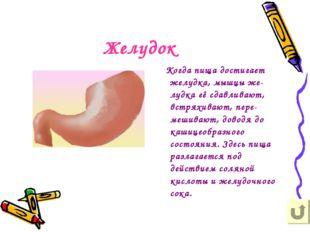 Желудок Когда пища достигает желудка, мышцы же-лудка её сдавливают, встряхива