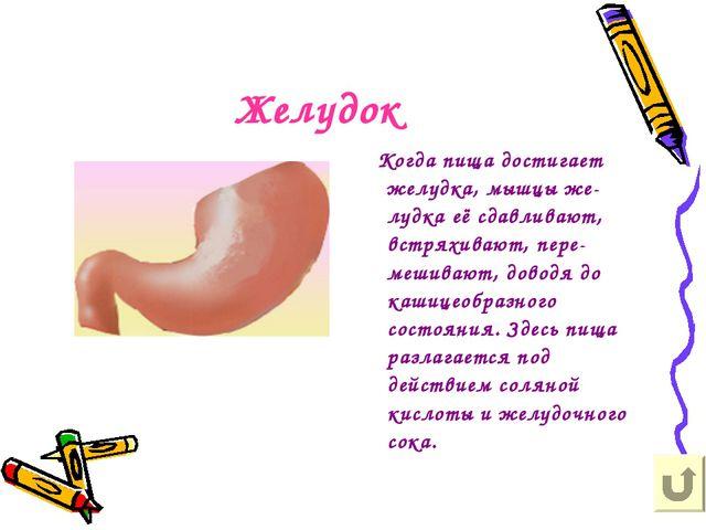 Желудок Когда пища достигает желудка, мышцы же-лудка её сдавливают, встряхива...