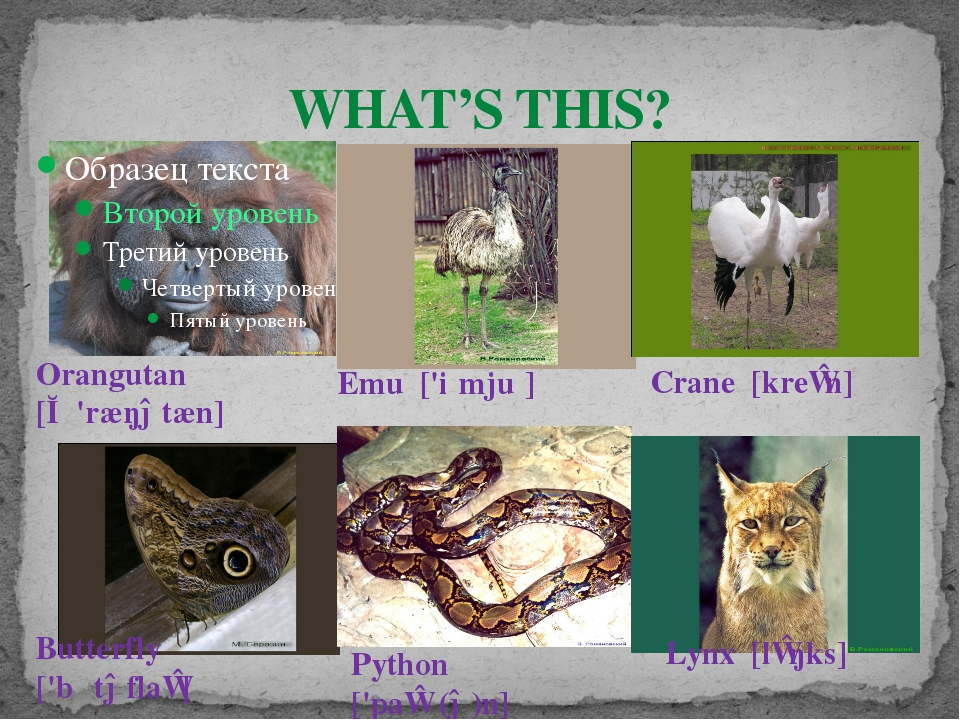 WHAT'S THIS? Orangutan [ɔː'ræŋətæn] Emu ['iːmjuː] Lynx [lɪŋks] Butterfly ['...