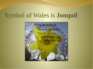 Symbol of Wales is Jonquil