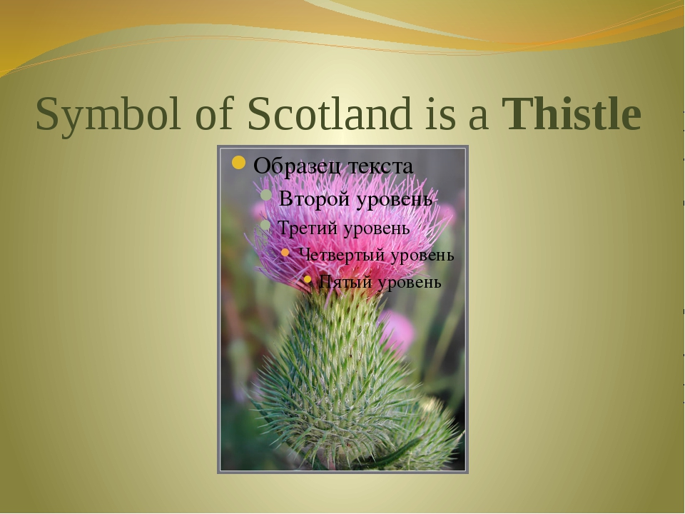 Symbol of Scotland is a Thistle