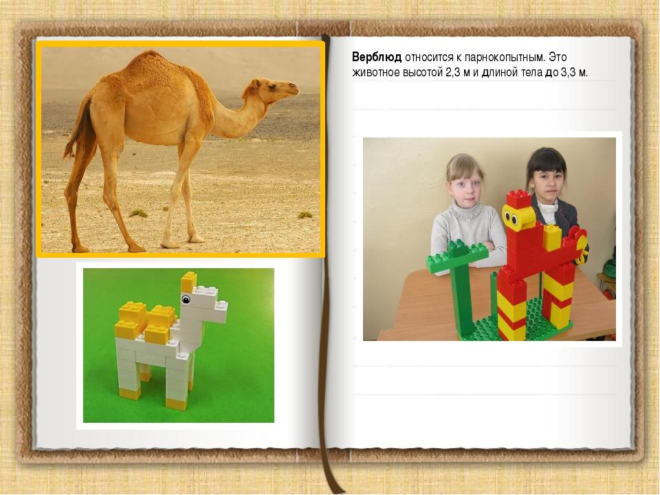 Верблюд относится к парнокопытным. Это животноевысотой 2,3 м и длиной тела д...